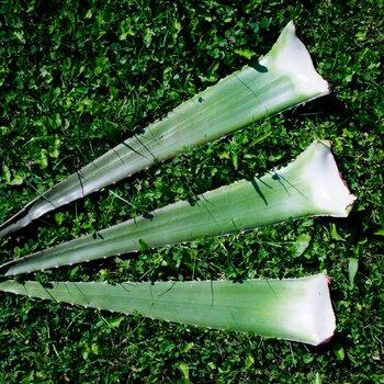 Aloe vera fresh leaf organic 3 pcs