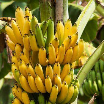 Banana Cavendish organic