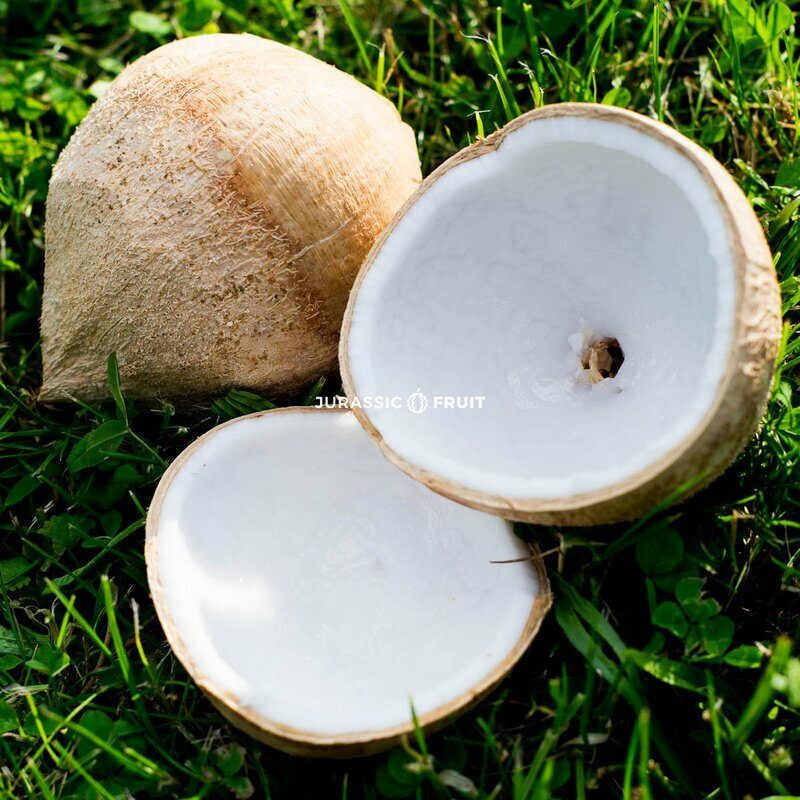 Young Coconut Light