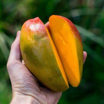 Mango Kent organic