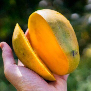 Mango Kensington organic